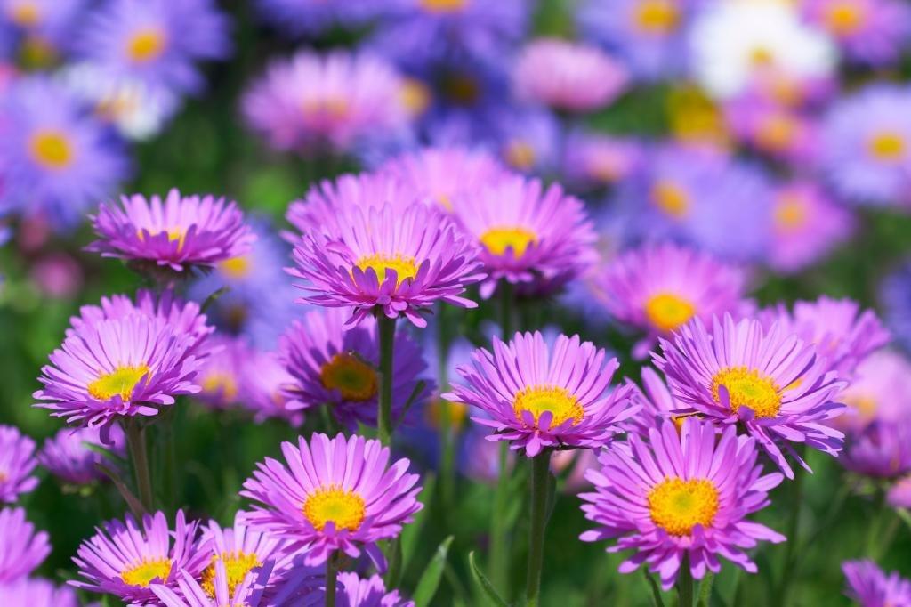 Фиолетовые астры