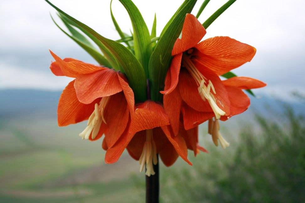 Цветы айгуль