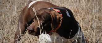 Охота с курцхааром: описание породы, воспитание, дрессировка