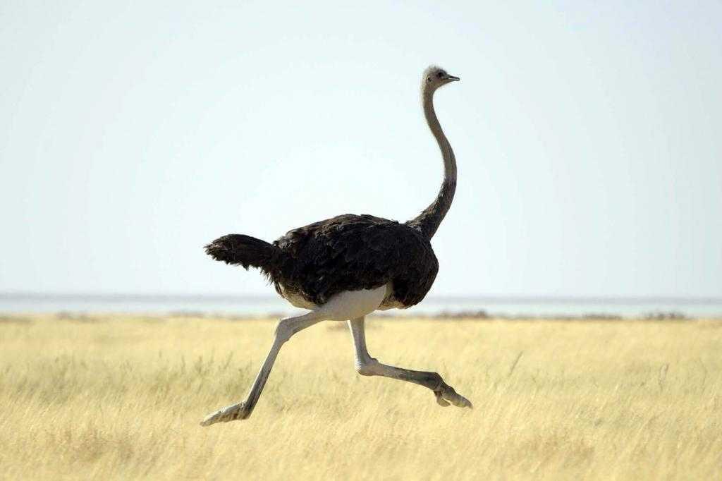 Как нарисовать страуса: поэтапная инструкция